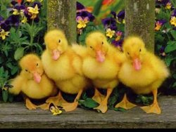 Donald The Duck Fellows