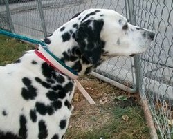 Molly the Dalmatian