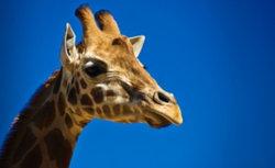 South Africa Giraffe
