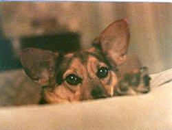 Chipper Zambini the dog