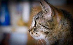 Anna Bacchus (cat)